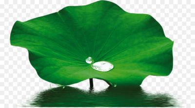 Nelumbo Nucifera Leaf Extract